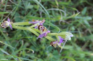 Find-orchids-on-Crete-greece-2017