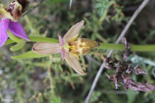 orchids-excursions-on-Crete-Greece